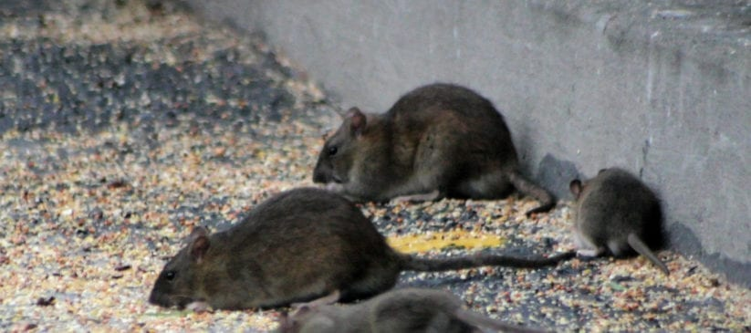 Group of rats on concrete
