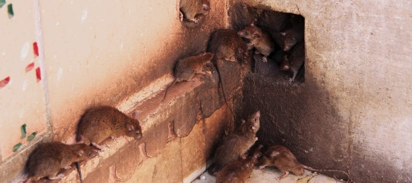 Rats running around in home