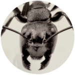 A big black ant